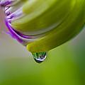 Raindrop Bud by Diane Fifield