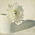 Chrysanthemum Shadow by Lyn Randle
