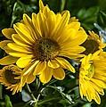 Chrysanthemum by Steve Harrington