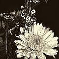 Chrysanthimum by Bonnie Willis