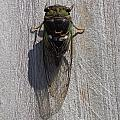 Cicada On Fence by Brian Schell
