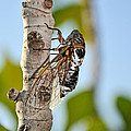 Cicada On Fig Tree by George Atsametakis