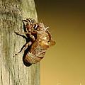 Cicada Shell by Robert Frederick