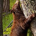 Cinnamon Boar Black Bear by J L Woody Wooden