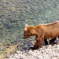 Cinnamon-colored Grizzly Bear By Moraine River In Katmai Np-ak  by Ruth Hager