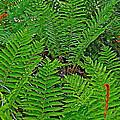 Cinnamon Ferns Along Skyline Trail In Cape Breton Highlands Np-n by Ruth Hager