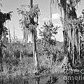 Circle B Swamp by Carol  Bradley