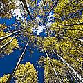 Circle Of Aspen by David Kehrli