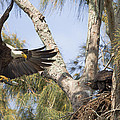Bald Eagle Nest by Doug McPherson