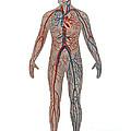Circulatory System In Male Anatomy by Gwen Shockey