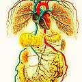 Circulatory System by Scott Camazine
