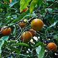 Citrus Sinensis by Jouko Lehto