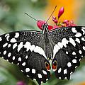 Citrus Swallowtail Butterfly  by Saija  Lehtonen