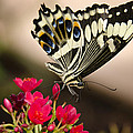 Citrus Swallowtail  by Saija  Lehtonen