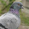 City Pigeon by Ausra Huntington nee Paulauskaite