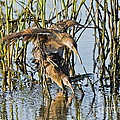 Clapper Rails Mating by Anthony Mercieca