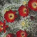 Claret Cactus - Vertical by Gregory Scott