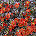 Claret Cup Cactus Flowers Detail by Tim Fitzharris