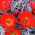Claretcup Cactus Blooms by Dave Welling