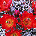 Claretcup Cactus In Bloom Wildflowers by Dave Welling