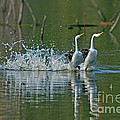 Clarks Grebes Dancing by Anthony Mercieca