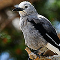 Clark's Nutcracker by Don and Bonnie Fink