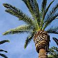 Classic Palms by Meghan at FireBonnet Art