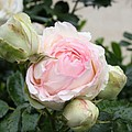 Classic Rose by Christiane Schulze Art And Photography