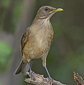Clay-colored Thrush by Anthony Mercieca