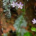 Claytonia And Rust by Rick Berk