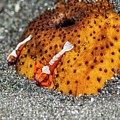 Cleaner Shrimp On Sea Cucumber by Georgette Douwma/science Photo Library