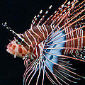 Clearfin Lionfish by Don Johnson