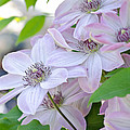 Clematis At Jack's by Lisa Bryant