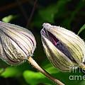 Clematis Buds by Randy J Heath