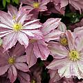 Clematis First Lady by Ros Drinkwater