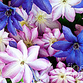 Clematis Flowers by William H Mullins