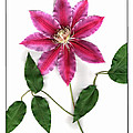 Clematis by Gary Lobdell