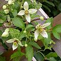 Clematis Grace by Cynthia Wallentine