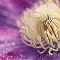 Clematis-macro Photograph Of A Purple Clematis by Sylvia Cook