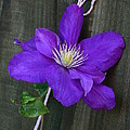 Clematis On A String by Jeremy Hayden