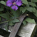 Clematis On Bench by Kevin Snider