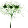 Clematis Seed Heads (clematis Vitalba) by Gustoimages/science Photo Library