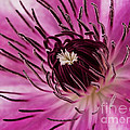 Clematis Up Close by Robert Woodward