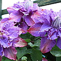 Clematis Vyvyan Pennell by Kevin F Cook