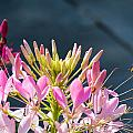 Cleome And Friend  by Jeanne May