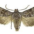 Cleonymia Yvanii Moth by Science Photo Library