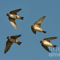 Cliff Swallows Flying by Anthony Mercieca