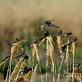 Cliff Swallows Perched On Grasses by Anthony Mercieca