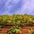 Climbing The Walls - Ivy - Vines - Brick Wall by Jason Politte