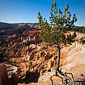 Clinging To The Edge Bryce Canyon by Dan Hartford